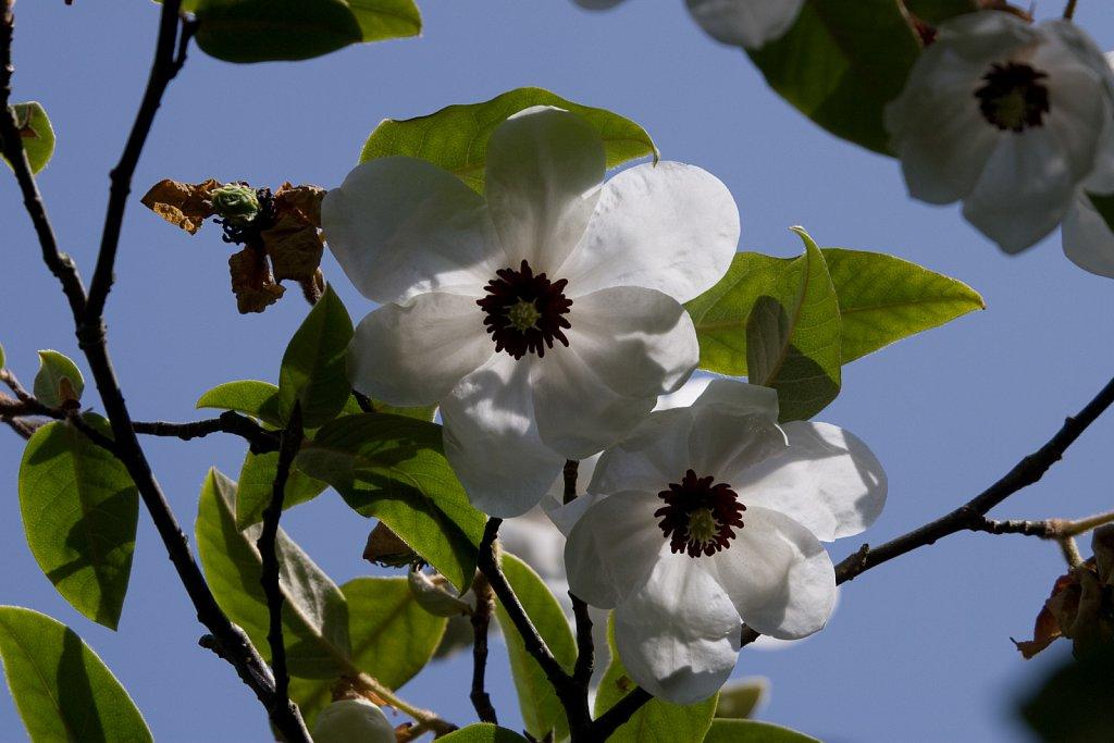 Magnolia wilsonii